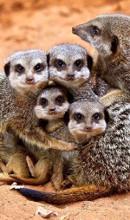 meerkat community