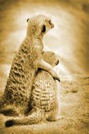 suporting meerkat